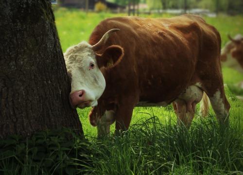 cows-337046_960_720