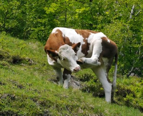 la-vache-ca-gratte